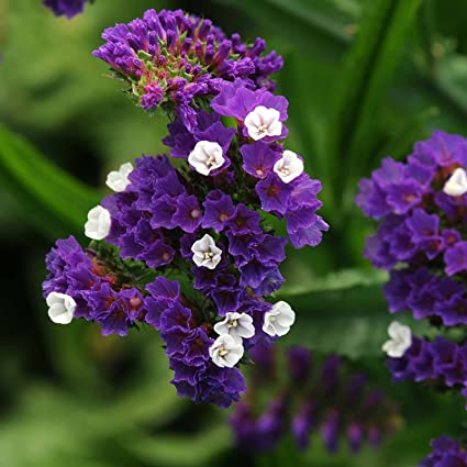 Amazon statice flower garden seeds qis series dark blue statice flower garden seeds qis series dark blue 1000 seeds annual flower mightylinksfo