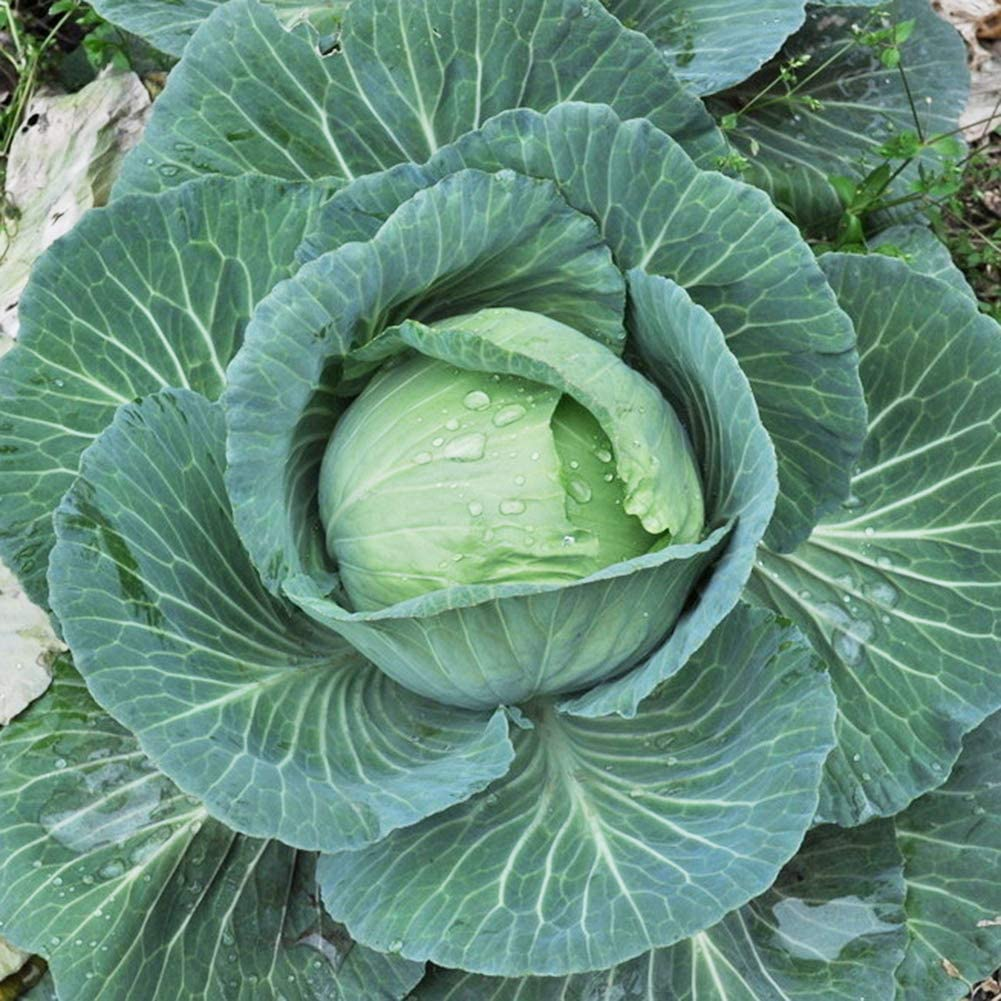 lamta1k 100 Unids Orgánica Deliciosa Semilla de Col Nutritiva Vegetal Home Garden Alta tasa de Supervivencia - Semillas de Col