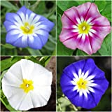 Package of 250 Seeds, Ensign Mixed Morning Glory (Convolvulus tricolor) Non-GMO Seeds by Seed Needs