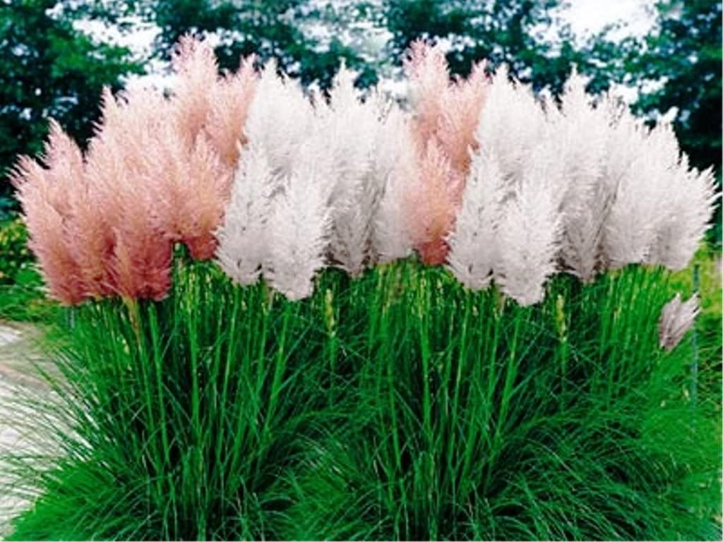 Amazon Com Mix Pampas Grass Seed Cortaderia Selloana Tall