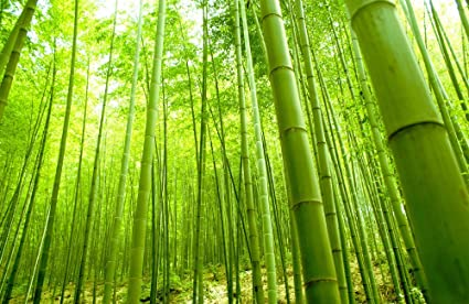 5122253cd015 Amazon.com  Beautiful Bamboo (N001) - Natural Scenery Art Print ...