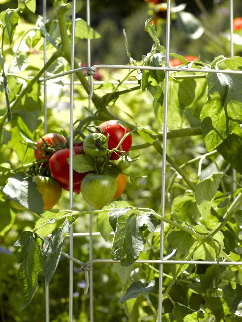 Hoss Tools 56'' Tomato Cages by Hoss Tools (Image #3)