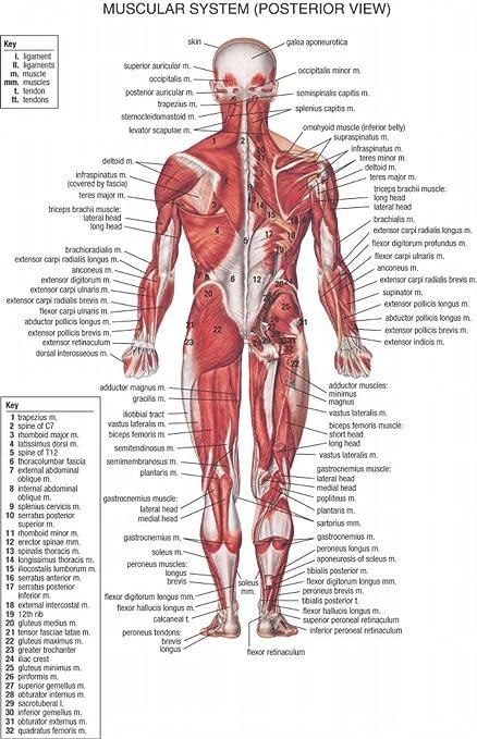 El Museo de salida de gráficos de – HB sistema muscular posterior – A3 cartel impresión