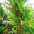 Best Garden Seeds Lovely Lipstick Palm Cyrtostachys Renda Tree, 10 seeds, red sealing wax palm