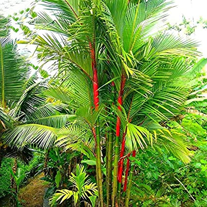 best garden seeds lovely lipstick palm cyrtostachys renda tree 10 seeds red sealing wax - Palm Garden