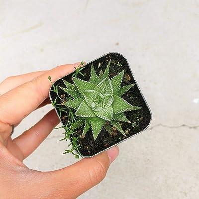 "Haworthia Zebra Plant White Stripe Aloe Spiky Indoor Plant (2"" + Clay Pot) : Garden & Outdoor"