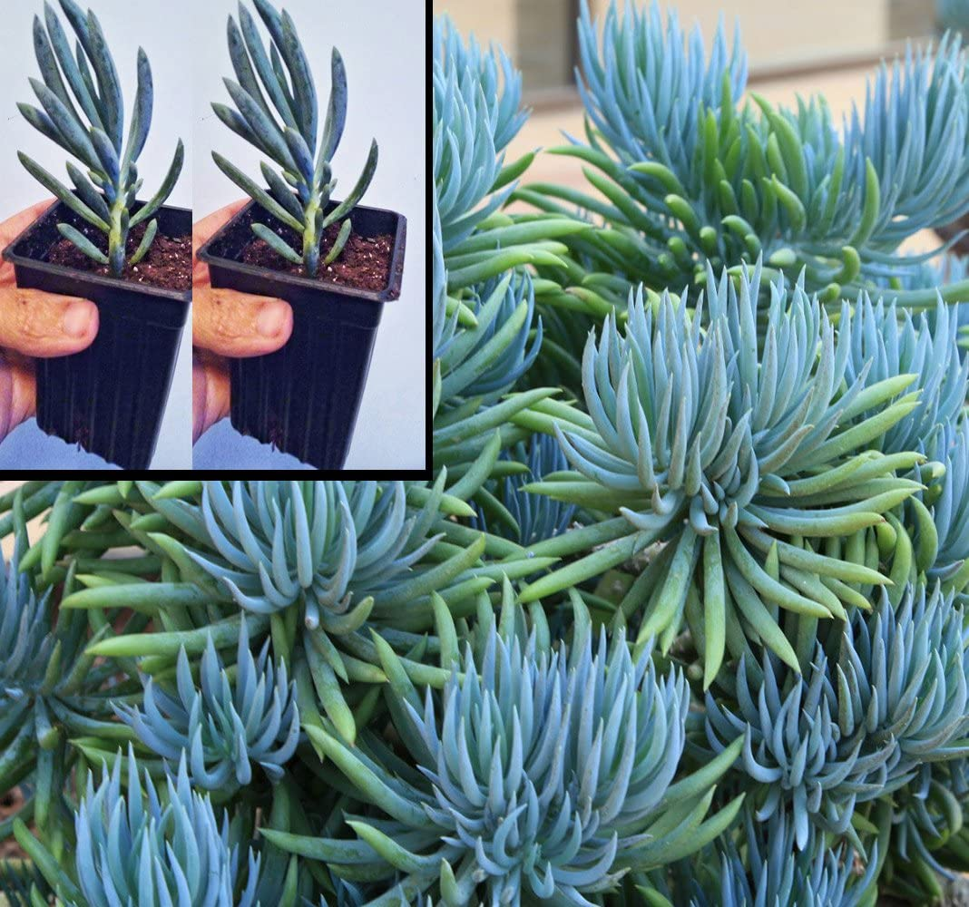 Amazon.com : Two Blue Chalk Stick Succulent Plants Senecio Mandraliscae in  2.5 inch pots : Garden & Outdoor