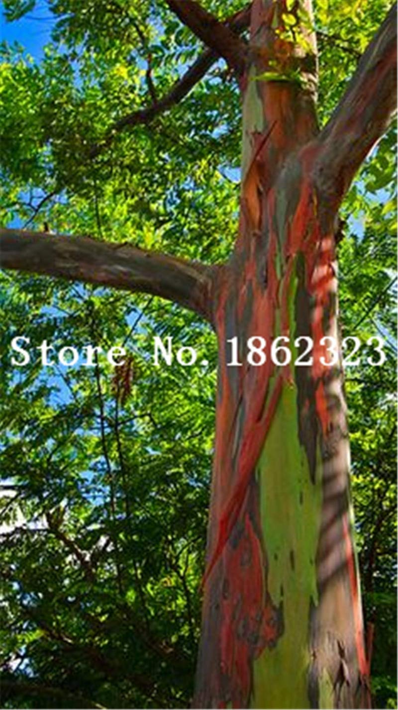 14 50 Pcs//Bag Rare Eucalyptus Bonsai Giant Tropical Tree Bonsai Flowering Plant for Home Garden Planting Outdoor Bonsai Gift Sale