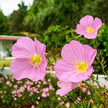 Oenothera Pink Seedspink Evening Primrose Seeds Amazon