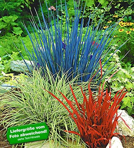 BALDUR-Garten Ziergras Farb-Mischung, 3 Pflanzen Imperata cylindica, Festuca glauca, Carex ashimens