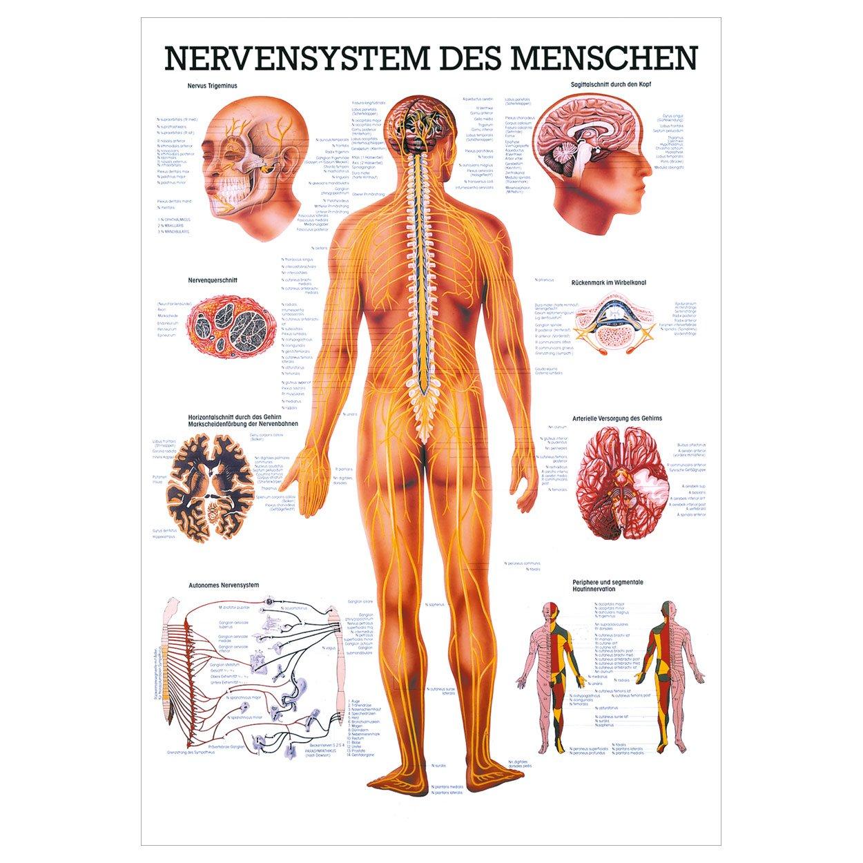 Das Nervensystem Lehrtafel Anatomie 100x70 cm medizinische ...
