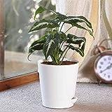 Ugaoo Syngonium Wendlandii Live Plant with Self Watering Pot