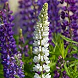 hardy perennial a garden tested Campanula poscharskyana /'Lisduggan Variety
