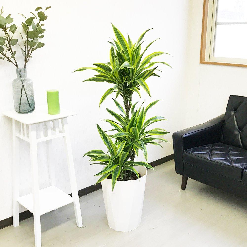 ドラセナ ワーネッキー レモンライム スタイリッシュな白色鉢カバー付 観葉植物 中型 大型 インテリア B01CS82RWK