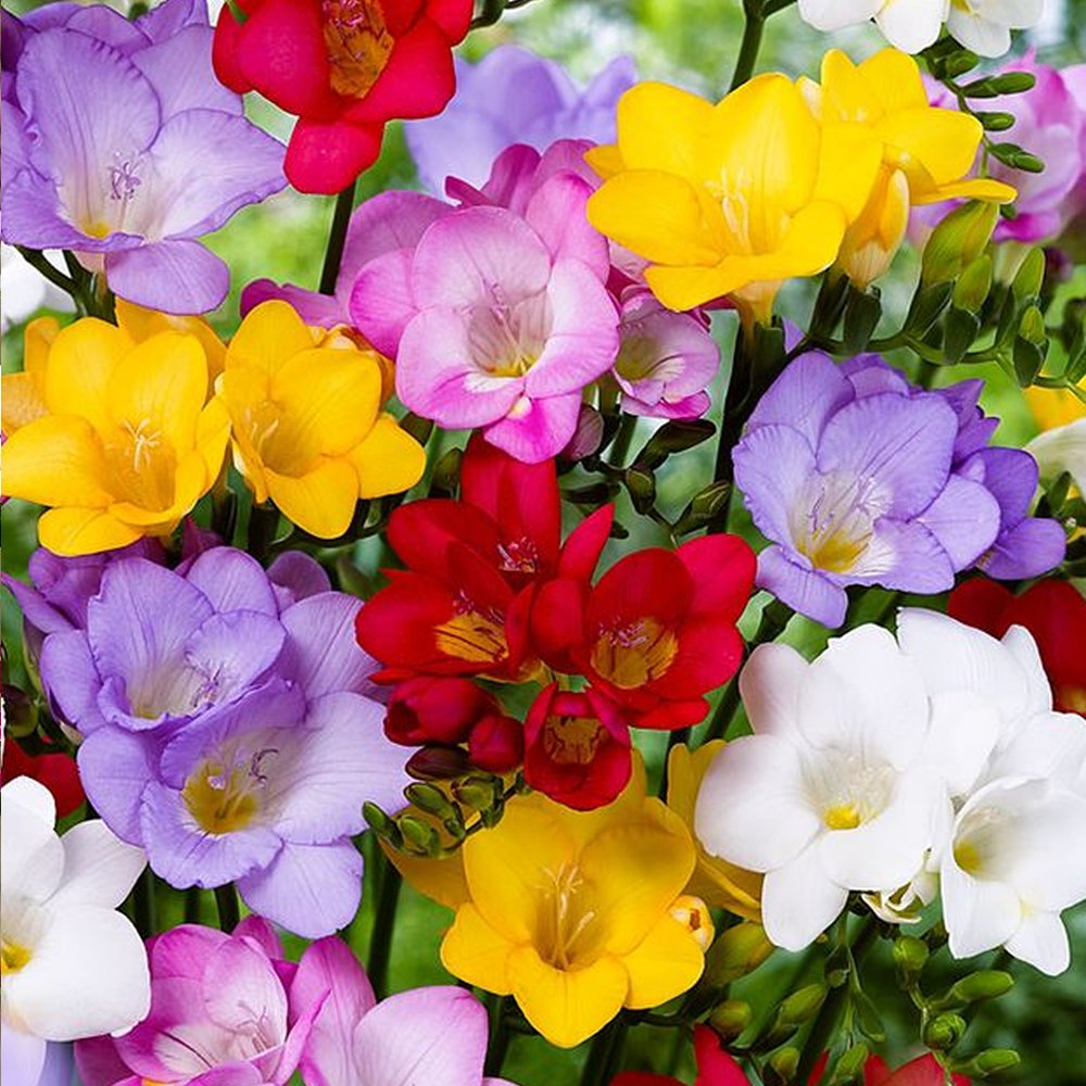 FREESIA SINGLE MIXED COLOURS SPRING SUMMER FLOWERING GARDEN BULBS (10) GardenersDream®