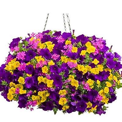 Earth Seeds Co 200 Pcs Petunia Seeds 'Colour-Themed Collection' Perennial Flower Mix Seeds, Flowers All Summer Long, Hanging Flower Seeds Ideal for Pot : Garden & Outdoor