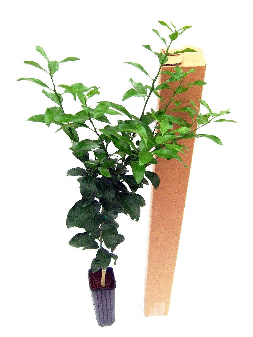 Kaffir Lime Tree-Fruit Bearing Size-Indoors/Out-NO Ship TX,FL,AZ,CA,LA,HI-5'' Pot by Hirt's Gardens (Image #5)