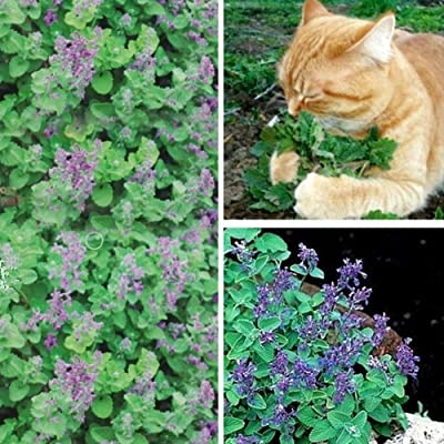 WskLinft 50Pcs Nepeta Cataria Seeds Catnip Catmint Garden Herb Plant Bonsai Cats Snacks for Planting for Indoor and Outdoor All Seeds are Heirloom, 100% Non-GMO! Catnip Seed : Garden & Outdoor