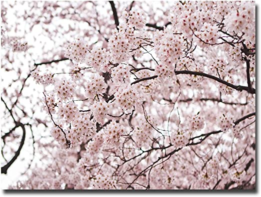 Amazon Com Cherry Blossoms By Ariane Moshayedi 16x24 Inch Canvas Wall Art Prints Posters Prints