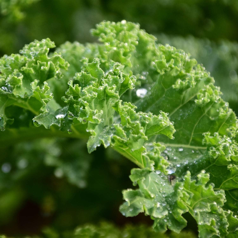 Organic Dwarf Blue Curled Scotch Kale - 1 LB ~128,000 Seeds - Organic, Heirloom, Open Pollinated, Non-GMO, Farm & Vegetable Gardening & Micro Greens Seeds