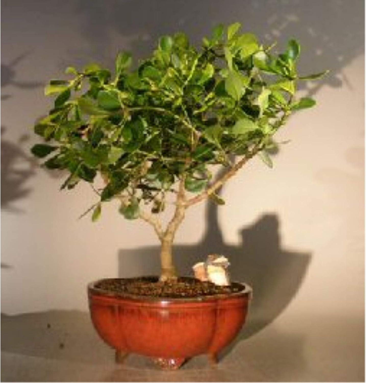 Flowering Tropical Dwarf Apple Bonsai Tree Extra Large (clusia rosea 'Nana')