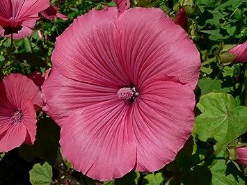 100 seeds Lovliness Rose Mallow Lavatera Trimestris