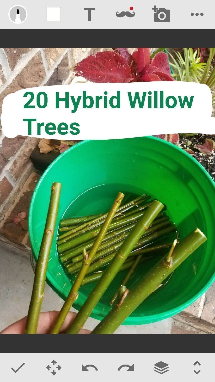 10 Austree Hybrid Willow Trees - Ready to Plant - Fast Growing Tree