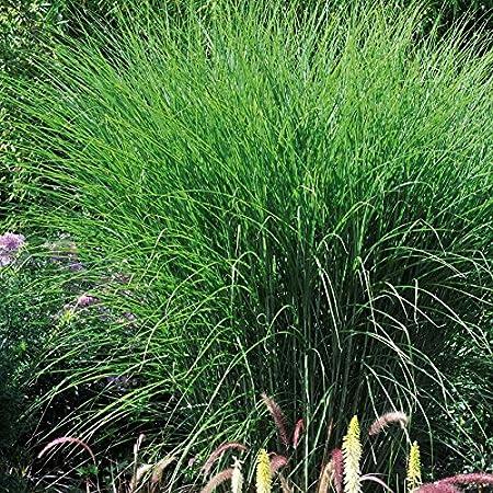 Tom Garten Mehrjahriges Chinaschilf Gracillimus Robustes Zier Gras Fur Den Garten Pflanze Im 11 Cm Topf Grun Amazon De Garten