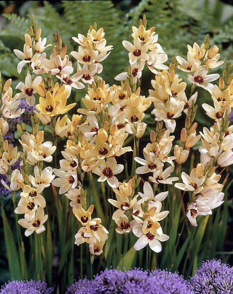 How to grow and care for ixia in the winter garden and in the garden plot