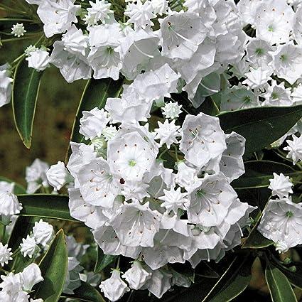 Amazon Com Pristine Mountain Laurel Kalmia Very Hardy 2 5 Pot Garden Outdoor