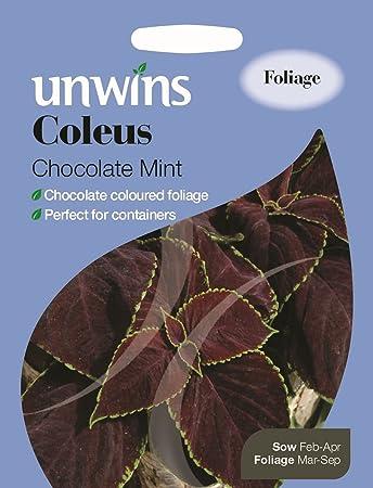 Coleus-Chocolat Menthe 10 graines