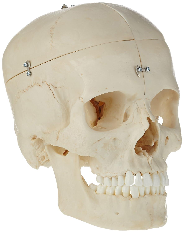 3B Scientific Menschliche Anatomie - BONElike ™ Knöchernes ...