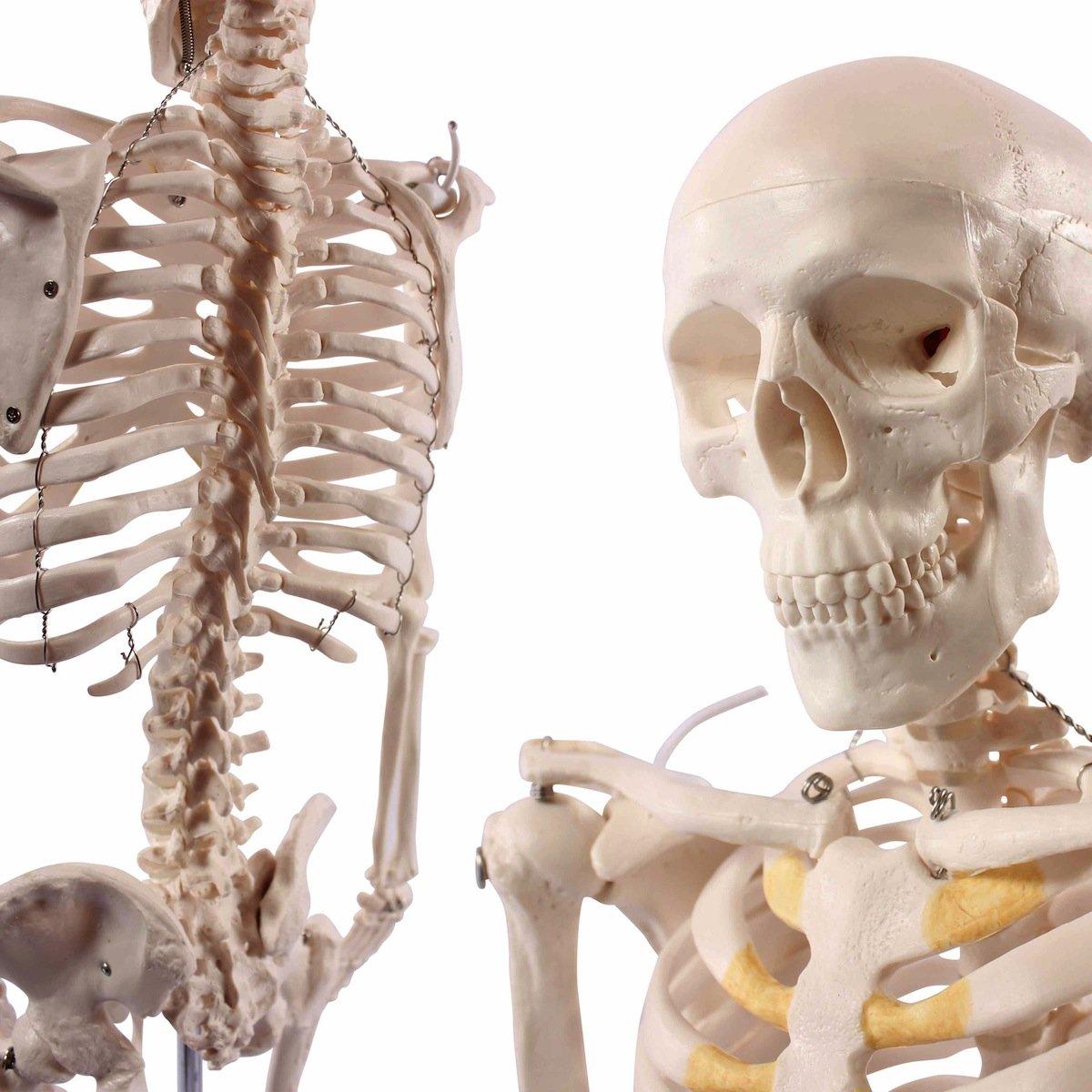 Cranstein E pequeño esqueleto cm