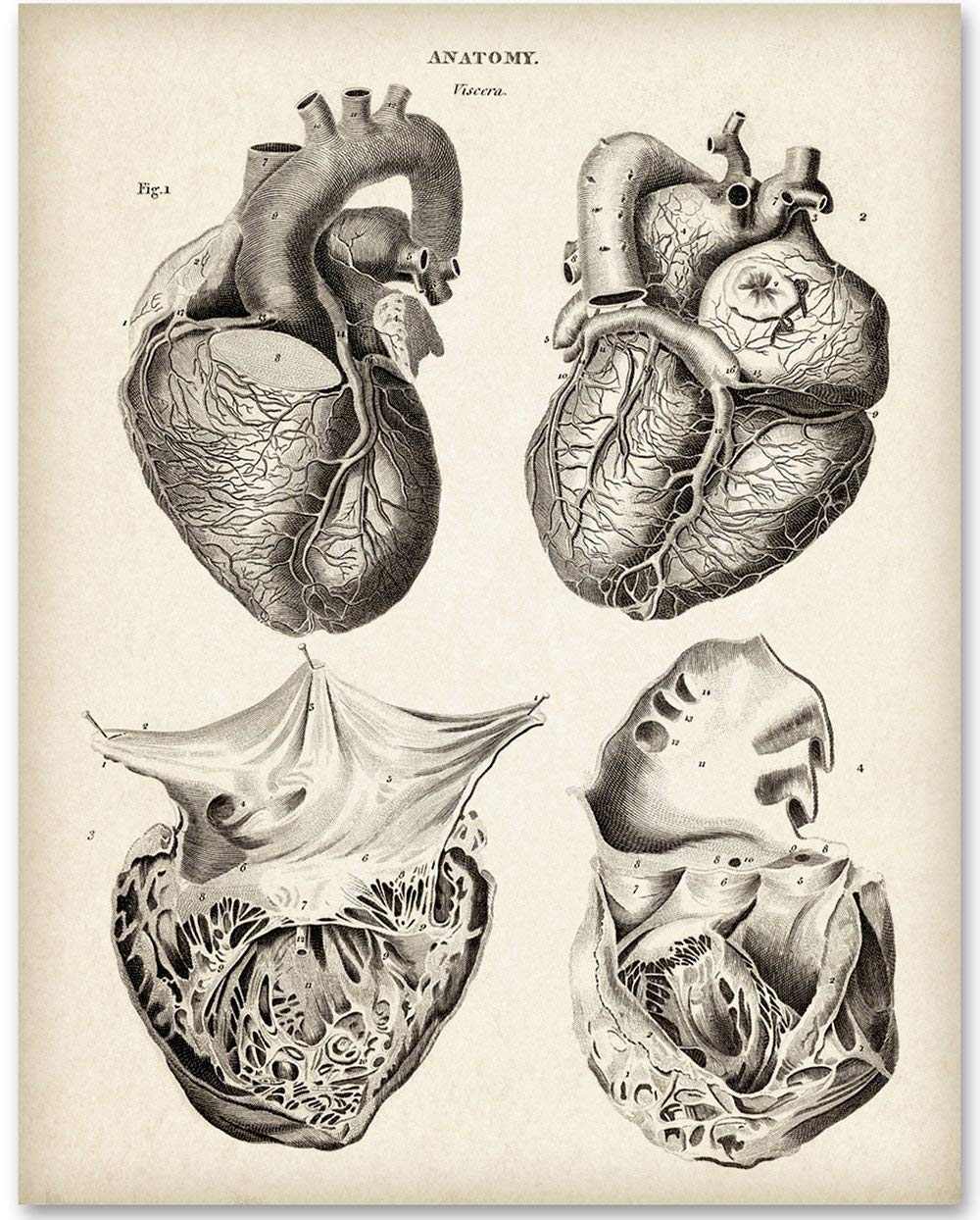 Anatomical Heart From 4 Views - 11x14 Unframed Art Print - Makes a Great Gift For Nurse's Day!