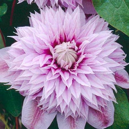 Clematis The President Hardy Garden Climber Plant Flowering Shrub 9cm Pot