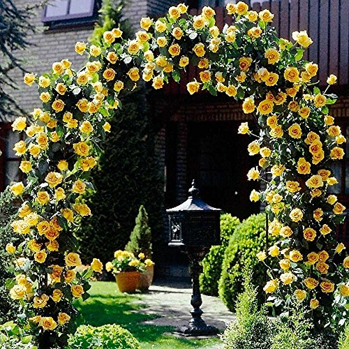 Cicitar Garden - Fragrant 100pcs Rare Climbing Roses Rambling Rose, Hardy Perennial Flower Seeds for Gardening Flowers Climbing Plants for Walls, Fences, facades, Rose Arches and pergolas