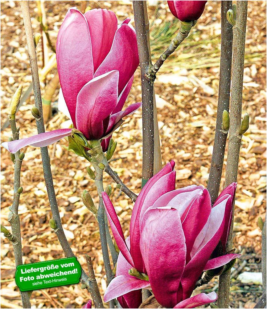 Magnolia Großblütige Säulen Magnolie Satisfaction 80-100cm