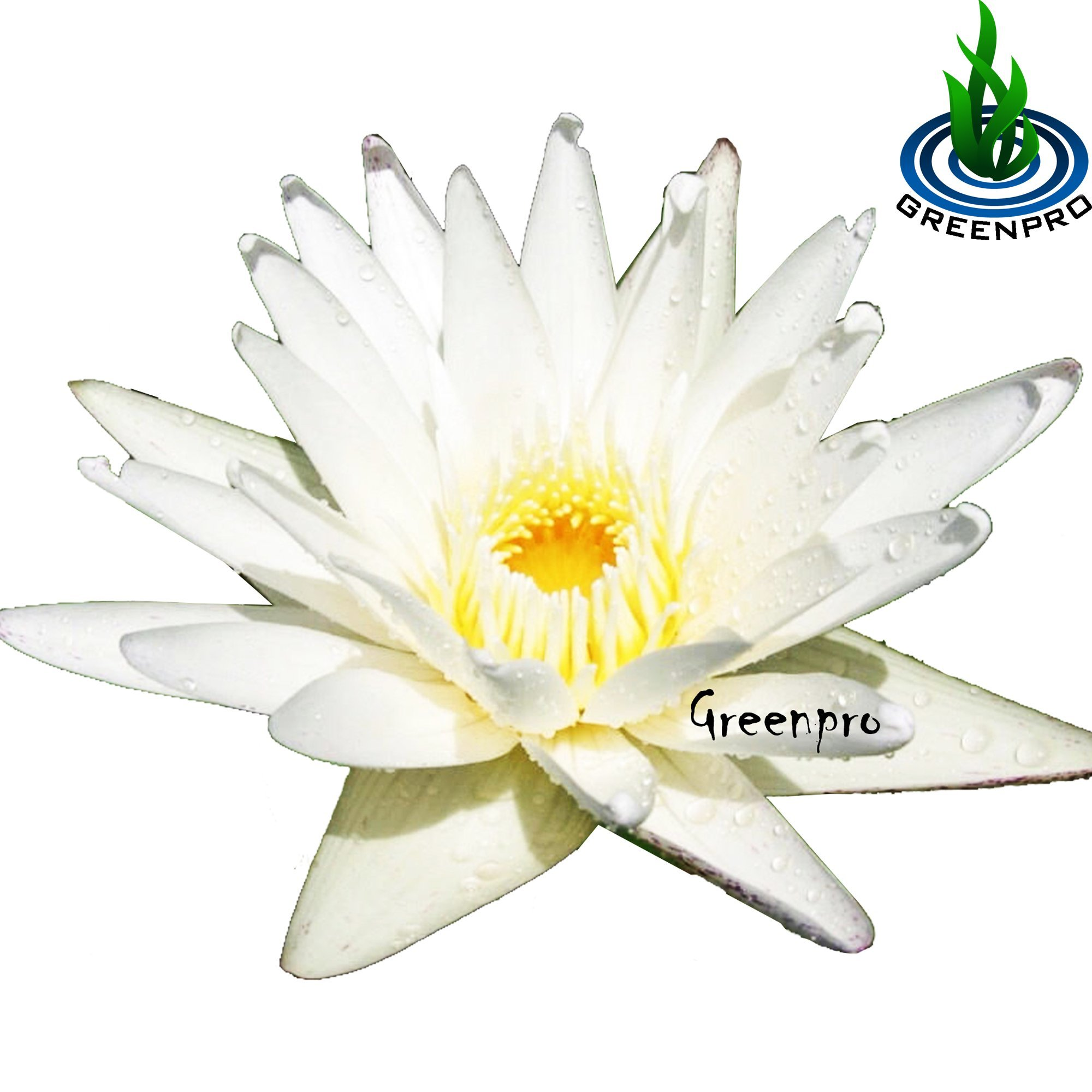 Live Aquatic Plant Nymphaea White Mongkol Siam Tropical Water Lilies Tuber for Aquarium Freshwater Fish Pond by Greenpro