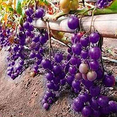 Feriay Seeds-20pcs Annual Temperate Purple Tomato Seeds Garden Bonsai Seeds Vegetables: Clothing