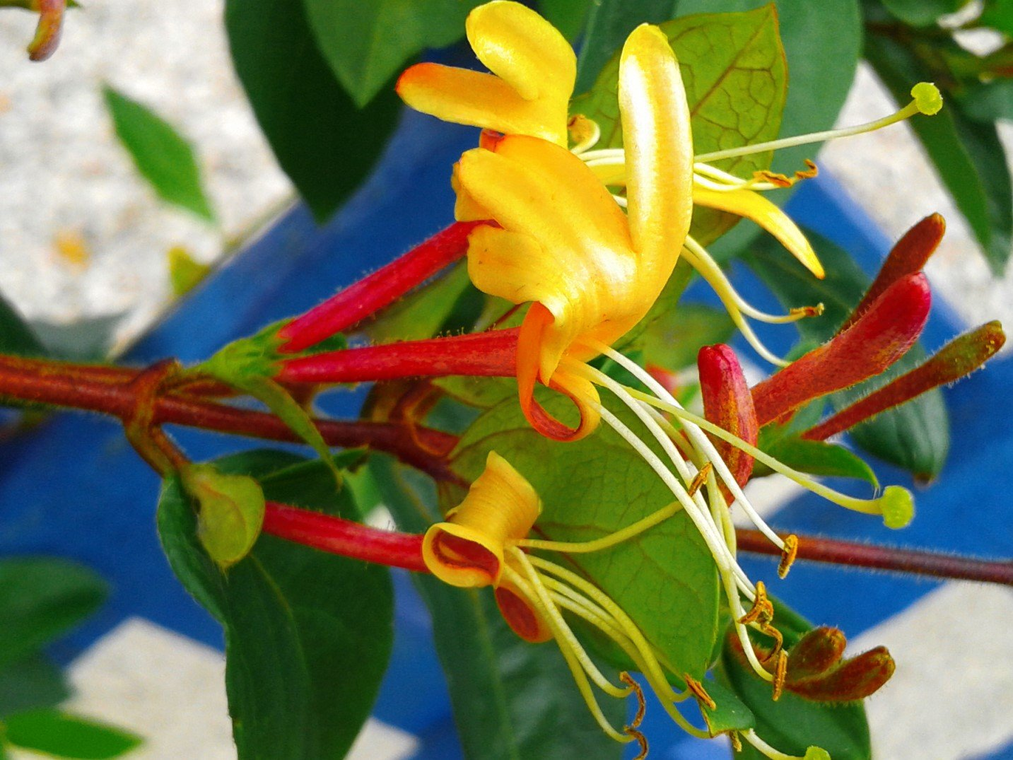 SCENTED CLIMBING HONEYSUCKLE 'LONICERA' GORGEOUS HIGHLY SCENTED HARDY CLIMBER IN 9CM POT CORNWALLPLANTS