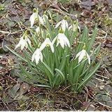 """Galanthus"""" waronowii"""" - Schneeglöckchen (20 Blumenzwiebeln)"""