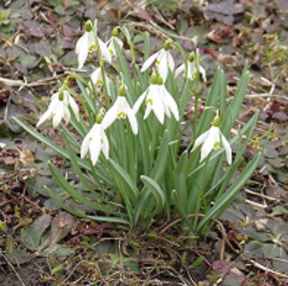 Galanthus' waronowii' - Schneeglö ckchen (5 Blumenzwiebeln) Das Blumenliesel