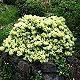 1 X RHODODENDRON'SHAMROCK' EVERGREEN BUSHY SHRUB HARDY GARDEN PLANT IN POT