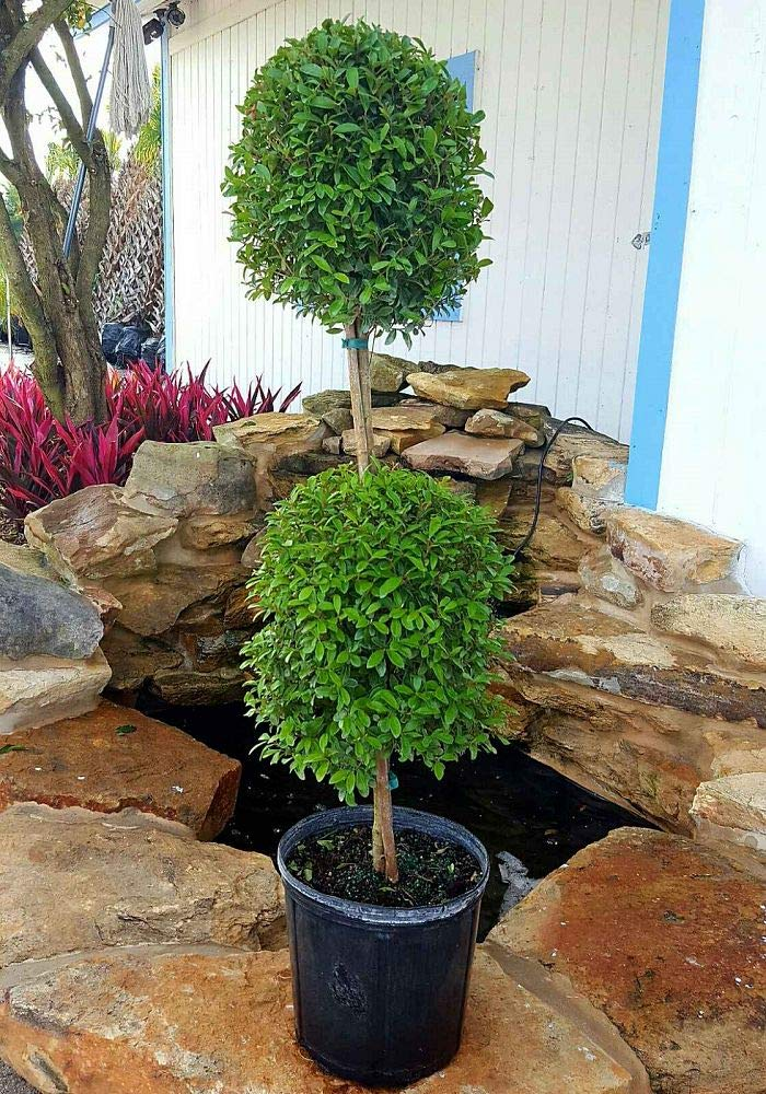 PlantVine Eugenia Topiary Ball - Large, Topiary - 8-10 Inch Pot (3 Gallon), Live Plant