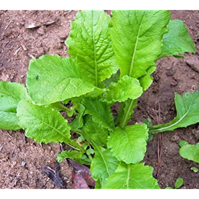 Turnip Seeds, turnip, Seven Top, Heirloom, Organic 50+ Seeds, Non Gmo, vegatable : Garden & Outdoor