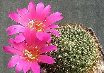 Amazon rebutia violaciflora stunning pink flowers crown rebutia violaciflora stunning pink flowers crown cactus rare 10 seeds mightylinksfo