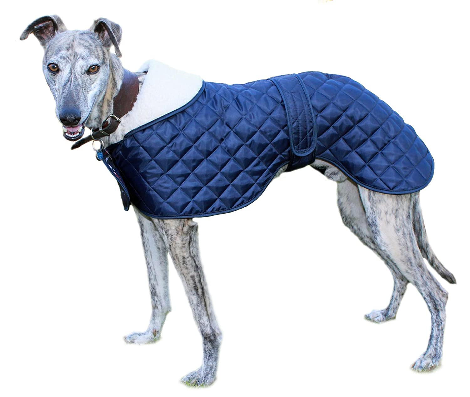 Whippet wearing a blue anorak winter dog coat