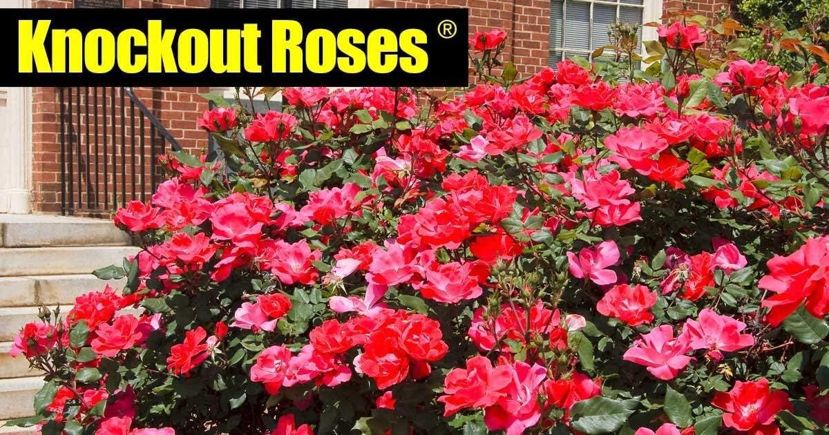 cespuglio di Rose Petsdelite/® per Aggiungere Un Pugno Extra al Vostro Giardino 1 Seme 1 gallone