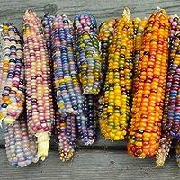 Soteer Garten - Selten Zuckermais Samen Regenbogen bunter Mais Ziermais reifend Rainbow Mehlmais Maiskolben Maissaatgut