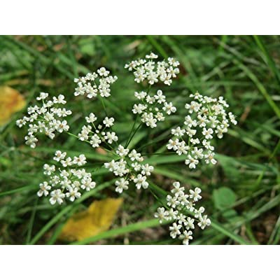 Toyensnow - Anise Culinary Herb Seeds (96k Seeds or 1/2 LB) : Garden & Outdoor